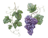 Watercolor illustration of grapes with leaves — Stock Photo