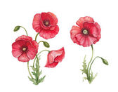 Watercolor illustration of poppy flowers — Stock Photo