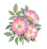 Watercolor dogrose illustration — Stock Photo