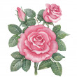 Watercolor rose illustration — 图库照片