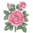 Watercolor rose illustration — Stok fotoğraf