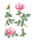 Watercolor illustrations of rose flowers — Stock Photo