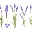 Lavender flowers collection. Watercolor illustrations — Stock Photo #41331199