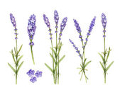 Lavender flowers collection. Watercolor illustrations — Stock Photo