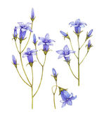 Bluebell flowers collection. Watercolor illustrations — Stock Photo