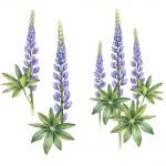 Wild lupine flowers — Stock Photo #44580441
