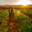 napa vineyard — Stock Photo