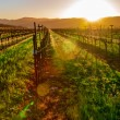 Napa Vineyard - Stock Photo