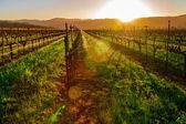 ナパバレーのブドウ園 — ストック写真