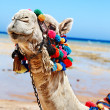 Stock Photo: Camel at beach.