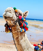 Camel at beach. — Stock Photo