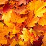 Background group autumn orange leaves. — Stock Photo #3916630