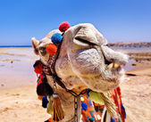 Camel at beach. — Stock Photo