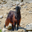 Stock Photo: Black goat