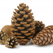 Stock Photo: Conifer cones