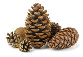 Conifer cones — Stock Photo