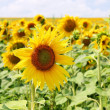 Sunflowers — Stock Photo #13158245
