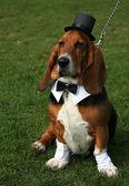 Gentleman dog — Stock Photo