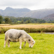 Sheep in front of Langdale Pikes in Lake District - Foto de Stock