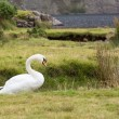 Swan by Wast Water in Lake District - Stock Photo
