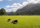 Sheep graze near Buttermere Lake District — Stock Photo