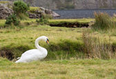 Swan by Wast Water in Lake District — Stock Photo