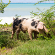 Wild pig on beach in St Martin — Stockfoto