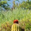 Turk's Cap cactus on St Martin — Stock Photo