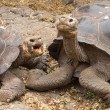 Pair of large Galapagos giant tortoise — Stock Photo