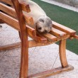 Stock Photo: Single sealion or seal sleeping on bench