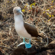 Curious blue footed booby seabird on Galapagos — Stock Photo