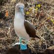 Curious blue footed booby seabird on Galapagos — Stok fotoğraf