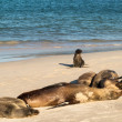 Stock Photo: Small baby seal among others on beach
