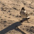 Galapagos Mockingbird on beach in islands — Stock fotografie