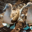 Curious blue footed booby seabirds on Galapagos — Stock Photo