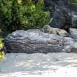 Stock Photo: Single small seal on rocks by beach