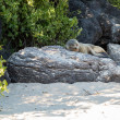 Single small seal on rocks by beach — Stock Photo