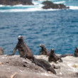 Galapagos marine iguana on volcanic rocks — Stock Photo