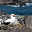 Curious nazcbooby seabird on Galapagos — Stock Photo #15679341