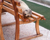 Single sealion or seal sleeping on bench — Stock Photo