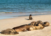 Small baby seal among others on beach — Stock Photo