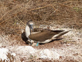 Curious blue footed booby seabird and chick — Stock Photo