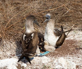 Two blue footed booby seabirds and chicks — Stock Photo