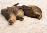 Four galapagos seals in a row on beach — Stock Photo