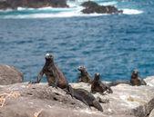 Galapagos marine iguana on volcanic rocks — Stock Photo
