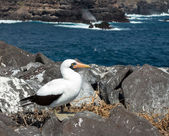 Curious nazca booby seabird on Galapagos — Stock Photo