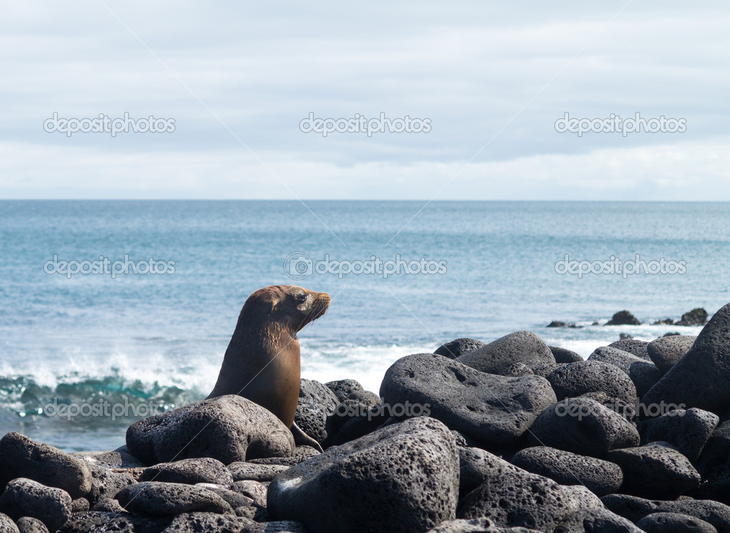 Single baby seal lays on rocks on beach in Galapagos Islands — Stock Photo #15679333
