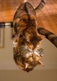 Orange brown bengal cat reflecting in mirror — Stock Photo