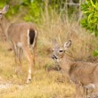 Small Key Deer in woods Florida Keys — Stok fotoğraf