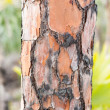 Close up of burned pine tree trunk in Florida — Stock Photo #18121279